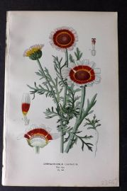 Step 1896 Antique Botanical Print. Chysanthemum Carinatum 146